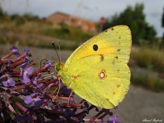 Butterfly 1446