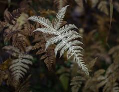 fern (Stefano Rugolo) Tags: stefanorugolo pentax k5 smcpentaxm50mmf17 fern ormbunke autumn fall abstract höst hälsingland sweden sverige pattern underwood plant