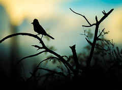 Desert Silhouette (Amazing Aperture Photography) Tags: animal nature wildlife bird desert sunset sky colorful silhouette nikond800 nikon tamron tamron150600 tucson arizona pimacanyon