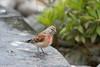 Linotte (GL Showa) Tags: oiseau linottemélodieuse