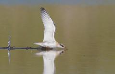 Least Tern juvenile (mandokid1) Tags: canon canon7dmk11 ef400mmdoii birds terns nickerson