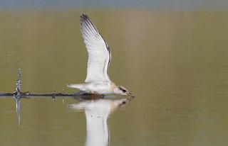 Least Tern juvenile