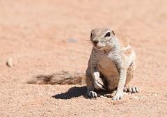 Cape ground squirrel (anacm.silva) Tags: capegroundsquirrel squirrel esquilo mammal wild wildlife nature natureza naturaleza desert namibdesert solitaire africa áfrica namibia desertodonamibe namíbia