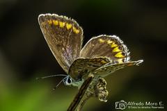 Polyommatus icarus hembra (Esmerejon) Tags: mariposas insectos lepidópteros naturalezamariposaícarohembrapolyommatusicarusrealizadaenlosalrededoresdelacuevadelsoplao cantabria el2372017