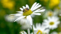 Give me all the pollen (Andrew Laws) Tags: bee daisy plant petals pollen white yellow meyeroptik görlitz domiplan 50mm f28