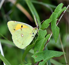 Le Souci (Colias crocea) (jean-lucfoucret) Tags: closeup animal nikkor 105 nikon d 500 macro macrophotographie lépidoptère butterfly papillon insecte