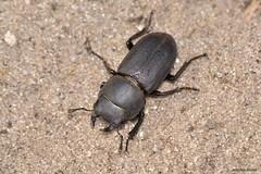 Dorcus parallelipipedus (Linnaeus, 1758). Macho (Jesús Tizón Taracido) Tags: coleoptera polyphaga scarabaeiformia scarabaeoidea lucanidae dorcusparallelipipedus