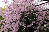 Japanische Kirschblüte (marcoverch) Tags: locationindependent tokio tokyomarathon2017 worldmajormarathons travel laufen reiseblogger running reisen marathon foodblogger digitalnomad japan tokyo chiyodaku tōkyōto jp cherry kirsche flower blume branch ast tree baum season jahreszeit flora blooming blühen springtime frühling petal blütenblatt nature natur growth wachstum garden garten floral blumen apple apfel bud gebot freshness frische leaf blatt park fruittree obstbaum plum pflaume japanische kirschblüte metal india outdoors airport pentax leica halloween deutschland boats cathedral