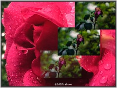 El ciclo de la vida (mariadoloresacero) Tags: gouttes pluie rosée de gotas lluvia rocío ilca66 sony roses rosas rosales rosal jardín jardines garden jardin montaje montage marchita marchitas rosa rose