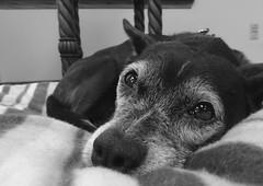 Mazie, at work. 25 (HX5V) (Mega-Magpie) Tags: sony dschx5v hx5 hx5v cybershot indoors mazie pet dog puppy bw black white mono monochrome cute