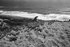 Fort Funston, San Francisco (Postcards from San Francisco) Tags: ma sanfrancisco california 35mmsummicronasph trix diafine fortfunston