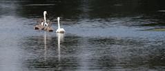Cygne tuberculé Cygnus olor - Mute Swan