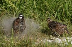 Suzanne Zuckerman, Northern Bobwhite, male and female taking a dirt bath