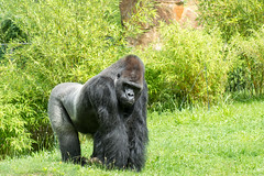 The boss (grasso.gino) Tags: tiere animals natur nature zoo berlin nikon d5200 affe monkey gorilla