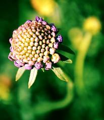 Growing Up (barbara_donders) Tags: green groen purple paars bloemknop bloem flower flowerhead opgroeien groeien growth nature natuur bokeh prachtig mooi beautifull magical wild summer zomer