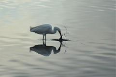 Snowy Egret fishing (steve_scordino) Tags: bolsachica birds reflection egret snowegret
