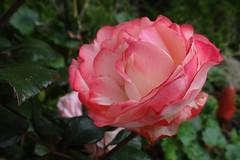 "Rose (Gartenzauber) Tags: rosesforeveryone floralfantasy mimamorsflowers ""doublefantasy"" mixofflowers excellentsflowers macroelsalvador photosandcalendar"