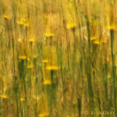 Impressions:  Dandelions (Joan Gray) Tags: icm intentionalcameramovement photographicimpressionism impressionisticphotography midsummercolor dandelions
