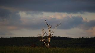A lone dead tree