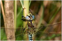 Hairy Dragonfly. (vegetus aer) Tags: woodwaltonfen greatfen greatfenproject wildlifetrust bcnwildlifetrust nnr cambridgeshire wildlife hairy dragonfly sony a77m2 sigma 105mm macro