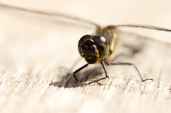Black Darter - Sympetrum danae (Mark Illand) Tags: black darter dragonfly macro photography nature sony alpha a580 minolta 100mm f28 cairngorms national park hihlands scotland wildlife insect outdoor bokeh ngc