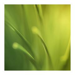 Needles (www.neilburnell.com) Tags: abstract colour vibrance pine needles wide open neil burnell wwwneilburnellcom 21 macro