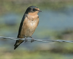 Barn Swallow (Hirundo rustica) (fugle) Tags: barnswallow swallow swanlakenaturereserve nevada fledgling washoeco