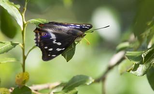 Purple Emperor (Apatura iris).