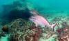 Red Morwong (Corey Hamilton) Tags: bareisland scubadiving