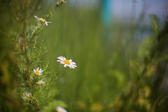 just soakin' up the sun (monorail_kz) Tags: summer july nature flower bokeh helios442 green grass sun