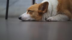 是誰在那裡?|基基 (里卡豆) Tags: olympus penf panasonic leica dg 425mm f12 panasonicleicadg425mmf12 taiwan dog 狗