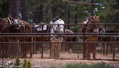 Saddle up for the Trail - HFF (11Jewels) Tags: canon 18200 animals horses donkey queensgardentrail brycecanyonnationalpark utah fencefriday