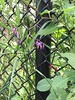 Nightshade (thropots) Tags: nightshade flowers weeds lucelinetrail goldenvalley mn