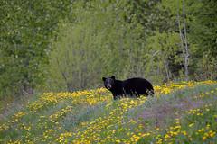 THE BEAR AND THE DANDELIONS  -  (Selected by GETTY IMAGES) (DESPITE STRAIGHT LINES) Tags: nikon d800 nikond800 nikkor200500mm nikon200500mm nikongp1 paulwilliams despitestraightlines flickr gettyimages getty gettyimagesesp despitestraightlinesatgettyimages bear blackbear babyblackbear wildanimal wildbear claws paw paws fur nature mothernature ursusamericanus animalia carnivora ablackbeareatinggrass blackbearonalaskahighway morleylake morleylakebc teslin dandelion dandelions beareatingdandelions blackbeareatingdandelions dandelionbear