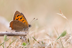 Small Copper (oandrews) Tags: butterfly canon canon70d canonuk insect insects invertebrate invertebrates lycaenaphlaeas minibeast minibeasts nature naturereserve outdoors rspb sandy smallcopper thelodge wildlife england unitedkingdom gb