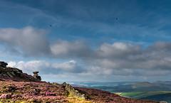Derbyshire Ravens (Peter Quinn1) Tags: raven ravens saltcellar derwentedge derbyshire moorland heather