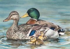 2017FDC212 (USFWS Headquarters) Tags: duck stamp federalduckstampcontest conservation art wildlife
