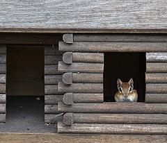 I have a new neighbour! (DaPuglet) Tags: chipmunk chipmunks animal animals mammal nature wildlife logcabin cabin home coth5