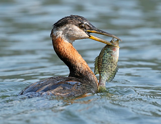 Red-necked Grebe with Crappie