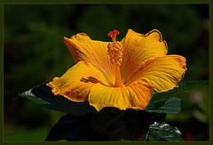 Yellow hibiscus flower (scorpion (13)) Tags: yellow blossom nature my garden plant color creative frame summer sun leaves photoart hibiscus