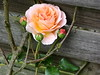 Dir, Herr der Herrlichkeit (amras_de) Tags: rose rosen ruža rosa ruže rozo roos arrosa ruusut rós rózsa rože rozes rozen roser róza trandafir vrtnica rossläktet gül blüte blume flor cvijet kvet blomst flower floro õis lore kukka fleur bláth virág blóm fiore flos žiedas zieds bloem blome kwiat floare ciuri flouer cvet blomma çiçek