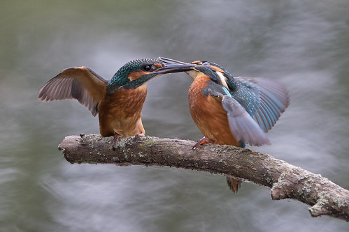 Kingfishers - bet that hurt