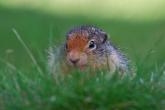 Quiet as a mouse (Adam Wang) Tags: nature grass animal wildlife squirrel pup rodent groundsquirrel