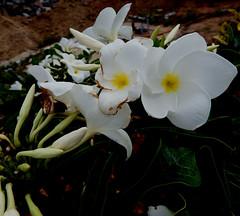 India 2017 62 (megegj)) Tags: gert india bloem flower fleur fiore blume