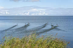Chaotic Departure (Alfred Grupstra) Tags: bird nature sea animal water wildlife beach coastline outdoors summer sky blue flying lake scenics landscape animalsinthewild beautyinnature animalwing coot