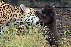 jaguar Rica and cub artis BB2A5986 (j.a.kok) Tags: rica artis animal mammal zoogdier dier jaguar jaguarcub blackjaguar zwartejaguar pantheraonca zuidamerika southamerica kat cat motherandchild moederenkind predator