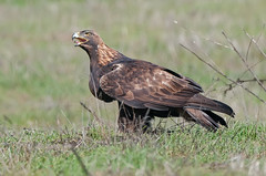 Golden Eagle (M) (knobby6) Tags: goldeneagle rockeagle goldy birdofprey raptorbuteo hawk eagle california nikon