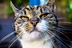 🐈her name is... (martinap.1) Tags: cat katze sliderssunday hss 7dwf nikon d3300 nikon40mm macro makro simba nature natur haustier pet outside bokeh catportrait portrait