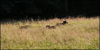 P1190183-1 - Three Black Lambs