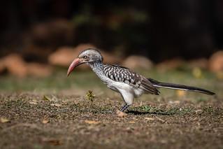 Calau-de-bico-vermelho (Tockus rufirostris) Southern Red-billed Hornbill